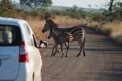 Zebra nella strada Immagini Stock