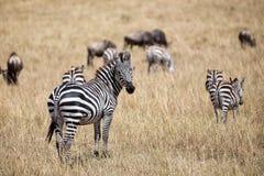 Zebra nello schermo Fotografie Stock Libere da Diritti