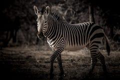 Zebra nello scuro Fotografie Stock