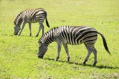 Zebra nello zoo Immagine Stock Libera da Diritti