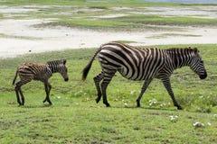 Zebra neonata del bambino con sua madre Fotografia Stock