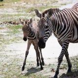 Zebra neonata del bambino con sua madre Immagini Stock