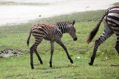 Zebra neonata del bambino con sua madre Fotografie Stock Libere da Diritti