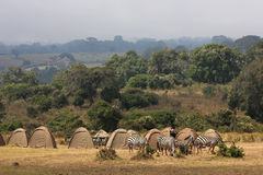 Zebra in Ngorongoro camping. Zebras are walking through the tents in Ngorongoro camping stock images