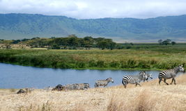 Zebra of Ngorongoro Crater. Herding plains zebra with Wildebeest in foreground cross a background of wide savannah of the Ngorongoro Crater game reserve Royalty Free Stock Photography