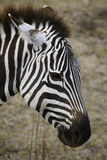 Zebra in Ngorongoro crater Royalty Free Stock Image