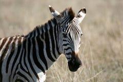 Zebra - Ngorongoro Crater, Tanzania, Africa Stock Image