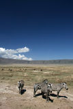 Zebra - Ngorongoro Crater, Tanzania, Africa Royalty Free Stock Photography