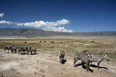 Zebra - Ngorongoro Crater, Tanzania, Africa Stock Photos