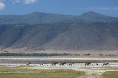 Zebra - Ngorongoro Crater, Tanzania, Africa Royalty Free Stock Photo