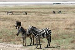 Zebra - Ngorongoro Crater, Tanzania, Africa Royalty Free Stock Images