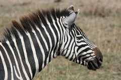 Zebra - Ngorongoro Crater, Tanzania, Africa Royalty Free Stock Photos