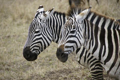 Zebra in Ngorongoro crater Royalty Free Stock Images