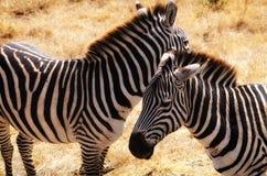 Zebra, Ngorongoro-Krater Royalty-vrije Stock Foto's