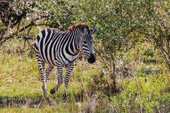 A zebra no arbusto Masai mara do savana Kenya, África Foto de Stock