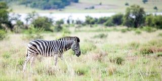 Zebra no campo foto de stock royalty free