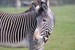 Zebra no fim do jardim zoológico acima Fotos de Stock