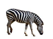 Zebra no fundo branco Fotografia de Stock