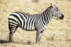 Zebra no habitat natural Fotos de Stock Royalty Free
