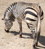 Zebra no jardim zoológico Fotografia de Stock