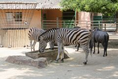 Zebra no jardim zoológico imagens de stock royalty free
