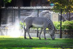 Zebra no jardim zoológico Imagem de Stock Royalty Free