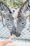 Zebra no jardim zoológico Imagens de Stock