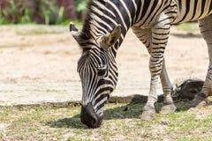 Zebra no jardim zoológico Fotos de Stock Royalty Free