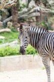 Zebra no jardim zoológico Fotos de Stock