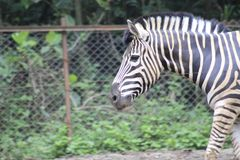 Zebra no jardim zoológico Bandung Indonésia 3 foto de stock royalty free
