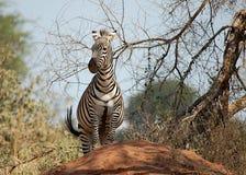 Zebra no monte da térmita Foto de Stock