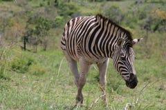 Zebra no movimento Fotografia de Stock Royalty Free