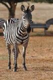 Zebra no parque fotografia de stock royalty free