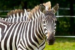 Zebra no parque dos animais selvagens Fotografia de Stock Royalty Free