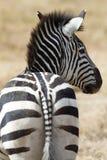 Zebra no parque nacional Fotos de Stock Royalty Free