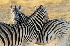 Zebra no parque nacional Foto de Stock Royalty Free