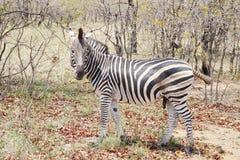 Zebra no parque nacional de Kruger Fotografia de Stock Royalty Free