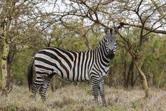Zebra no parque nacional de Serengeti Fotografia de Stock