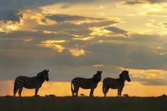 Zebra no por do sol Foto de Stock Royalty Free