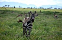 Zebra no savana, África, Kenya Foto de Stock