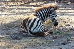 Zebra no savana Imagem de Stock