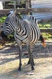 Zebra no savana fotografia de stock royalty free