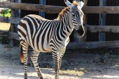 Zebra no savana Imagens de Stock