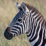 Zebra no savana africano, em Masai Mara, Kenia foto de stock royalty free