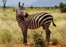 Zebra no savana, Kenya, África imagem de stock royalty free