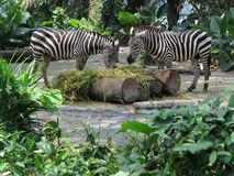 Zebra no selvagem Foto de Stock Royalty Free
