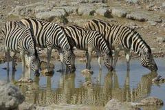 Zebra no waterhole Foto de Stock Royalty Free