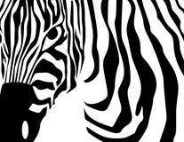 zebra nosicieli Zdjęcia Royalty Free