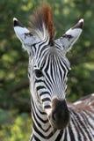 Zebra nova Foto de Stock
