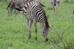 Zebra nova Fotografia de Stock